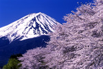 Mt. Fuji & cherry blossom .jpg